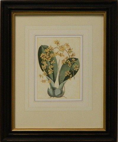 Vintage English Botanical Study Yellow I