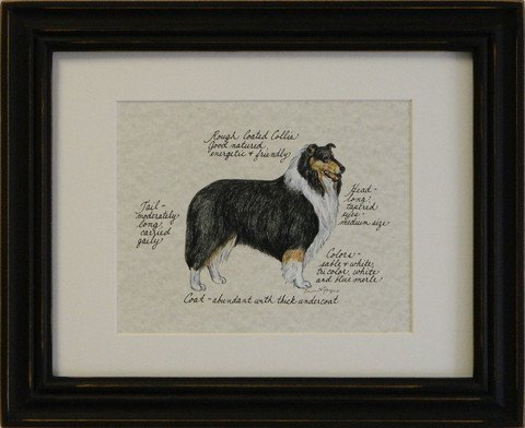Collie, Rough Coated Tri Color