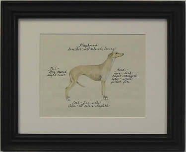Greyhound, Fawn