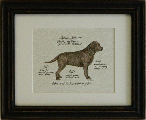 Labrador Retriever, Chocolate