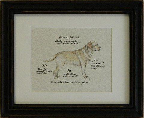 Labrador Retriever, Yellow