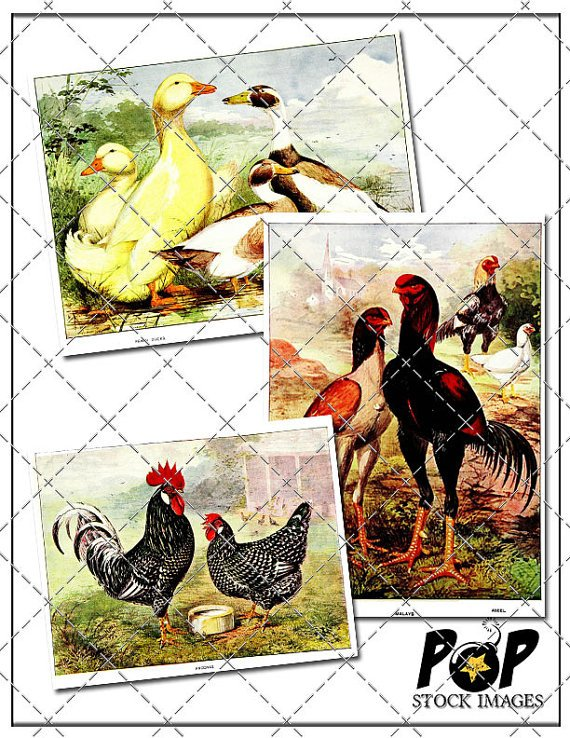Chickens - Roosters - Hens - Ducks Digital Image Collection - Feathered Friends