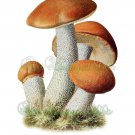 EDIBLE MUSHROOM-001 Orange-cap Boletus vintage print