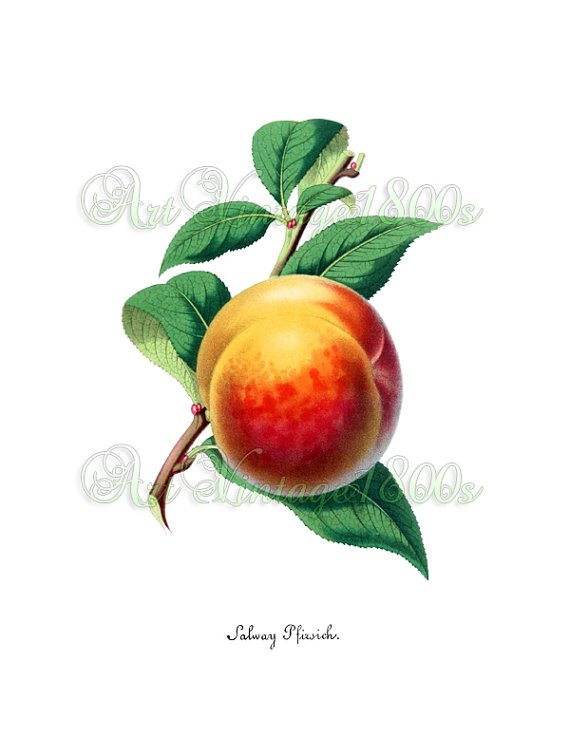 JUICY FRUIT-001 Peach vintage print