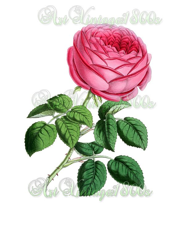 BEAUTIFUL FLOWER-005 Rose vintage print