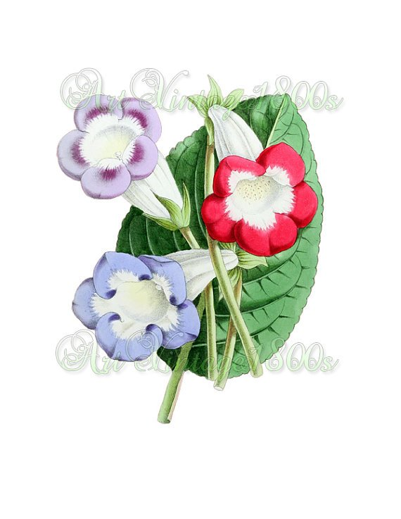 BEAUTIFUL FLOWER-012 Gloxinias vintage print