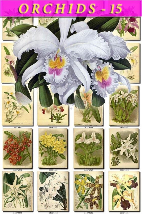 ORCHIDS-15 flowers 291 vintage print