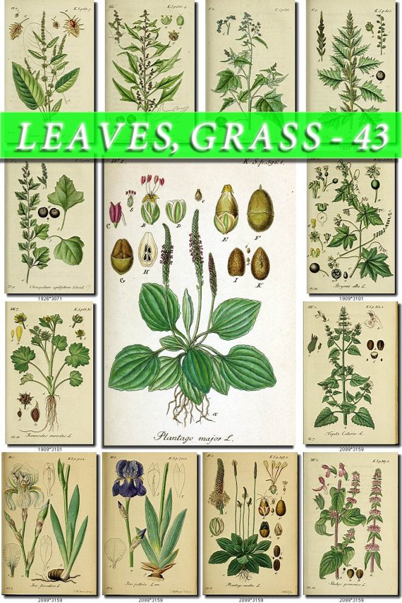 LEAVES GRASS-43 208 vintage print
