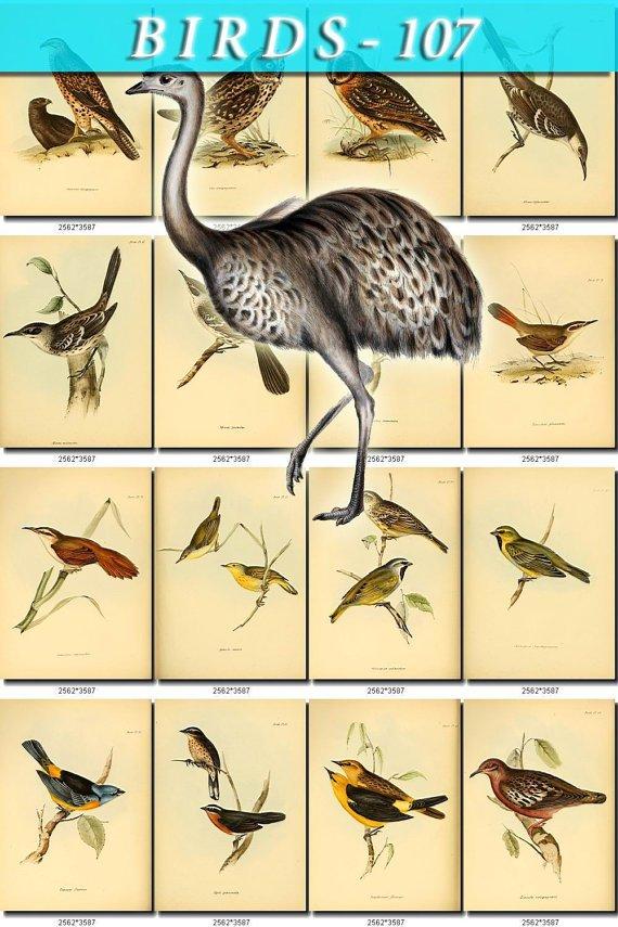 BIRDS-107 122 vintage print