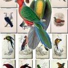 BIRDS-143 79 vintage print