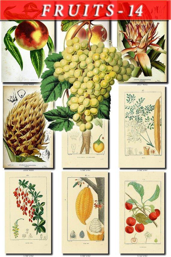 FRUITS VEGETABLES-14 72 vintage print