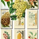 FRUITS VEGETABLES-14 72 vintage print