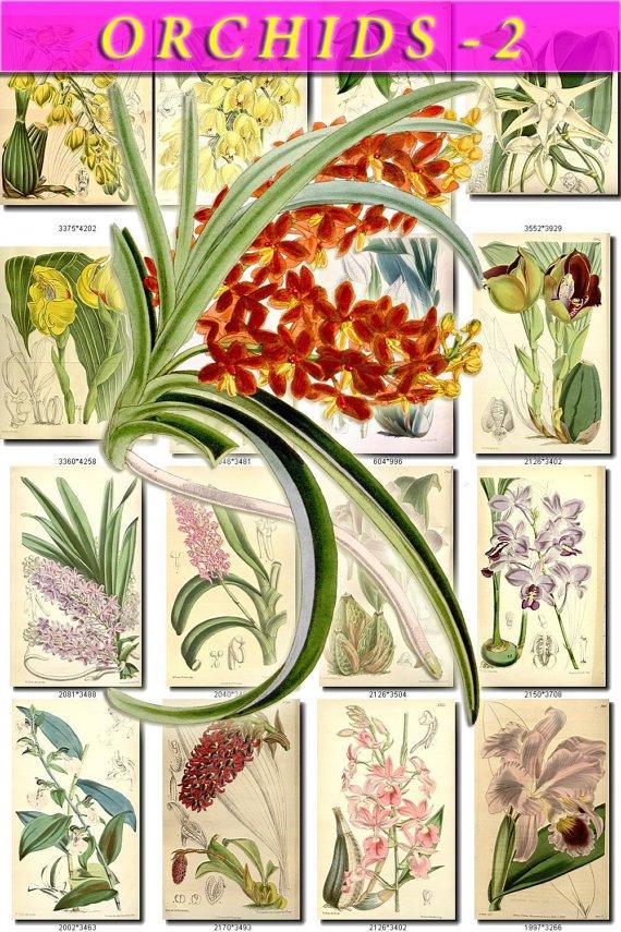 ORCHIDS-2 flowers 207 vintage print