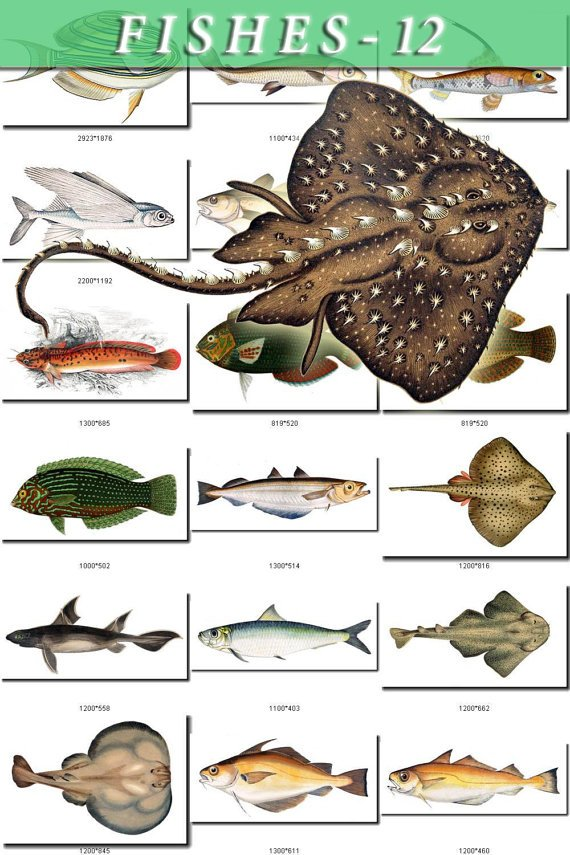 FISHES-12 115 vintage print