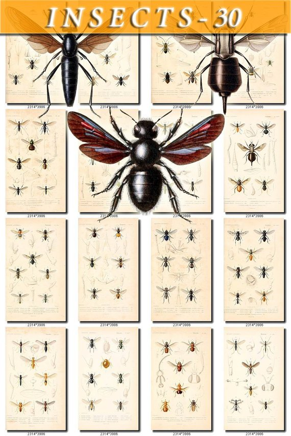 INSECTS-30 151 vintage print