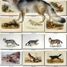 DOGS WOLVES FOXES-3 59 vintage print