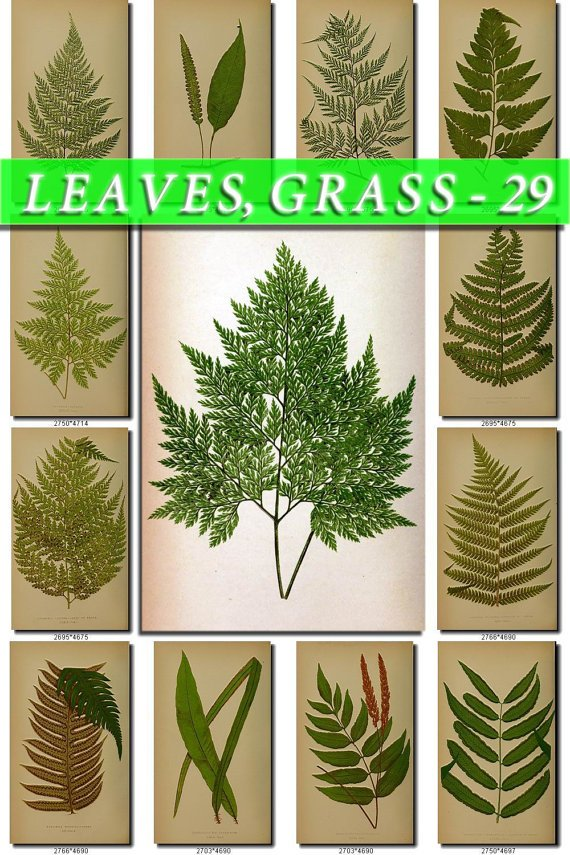 LEAVES GRASS-29 214 vintage print
