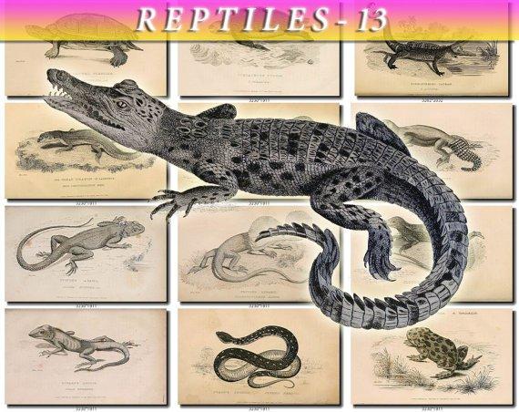 REPTILES & AMPHIBIAS-13-bw 52 black-, -white vintage print