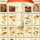 MUSHROOMS-6 276 vintage print