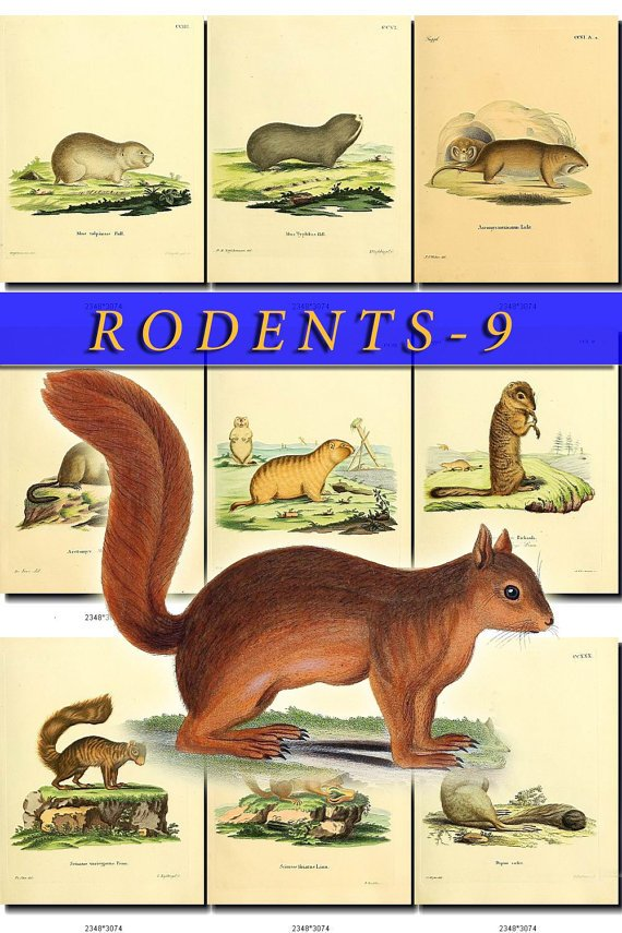 RODENTS-9 50 vintage print