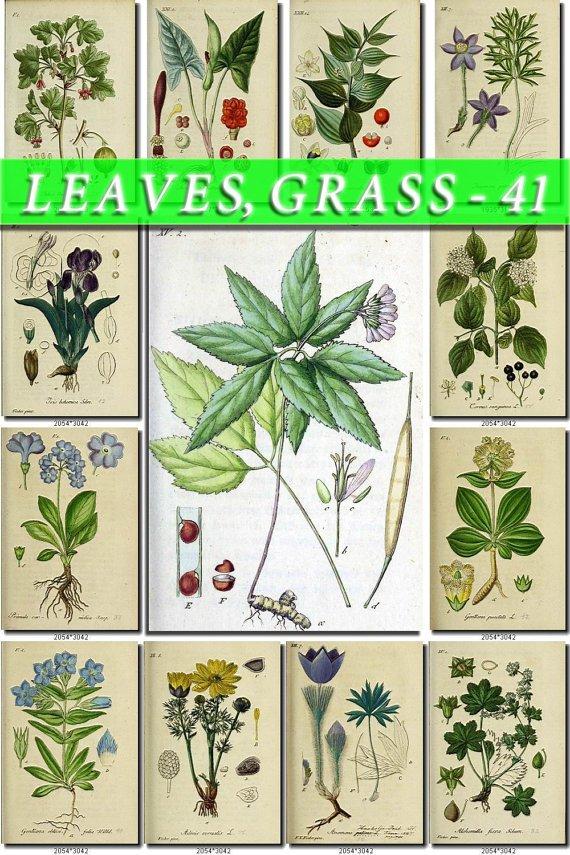 LEAVES GRASS-41 191 vintage print