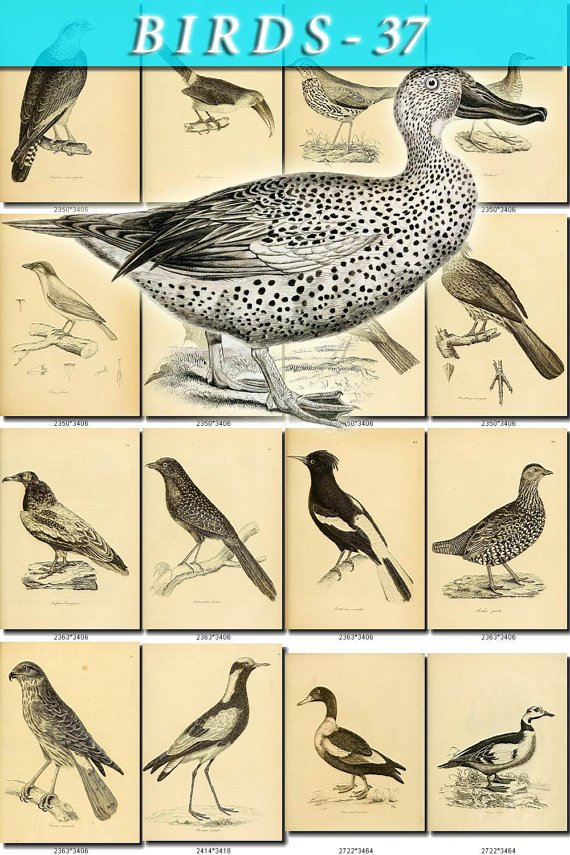 BIRDS-37-bw 237 black-, -white vintage print