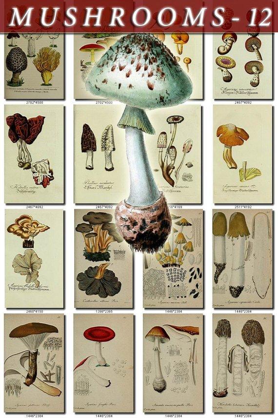 MUSHROOMS-12 292 vintage print