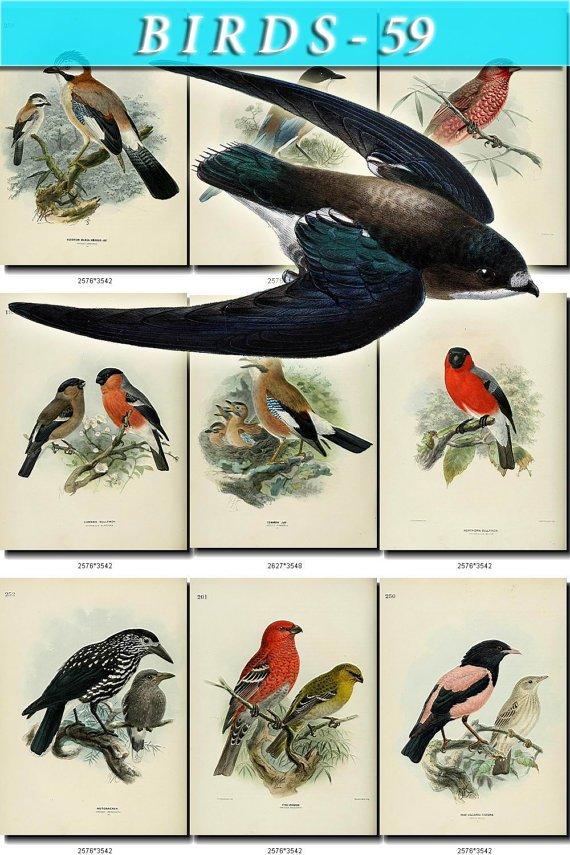 BIRDS-59 91 vintage print