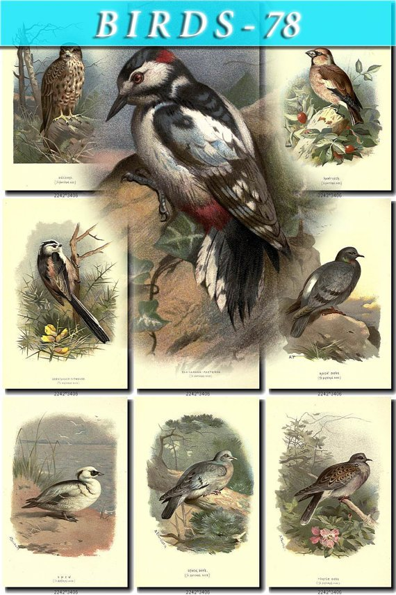 BIRDS-78 84 vintage print
