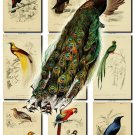 BIRDS-81 153 vintage print