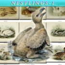 NESTLINGS-1 Birds 180 vintage print