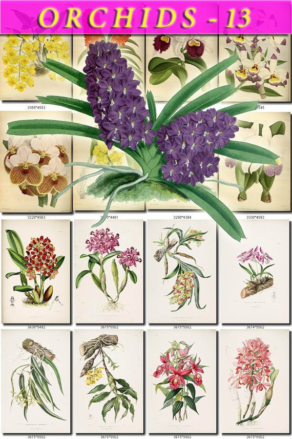 ORCHIDS-13 flowers 289 vintage print