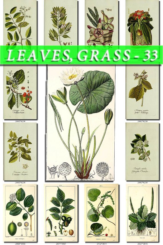 LEAVES GRASS-33 218 vintage print