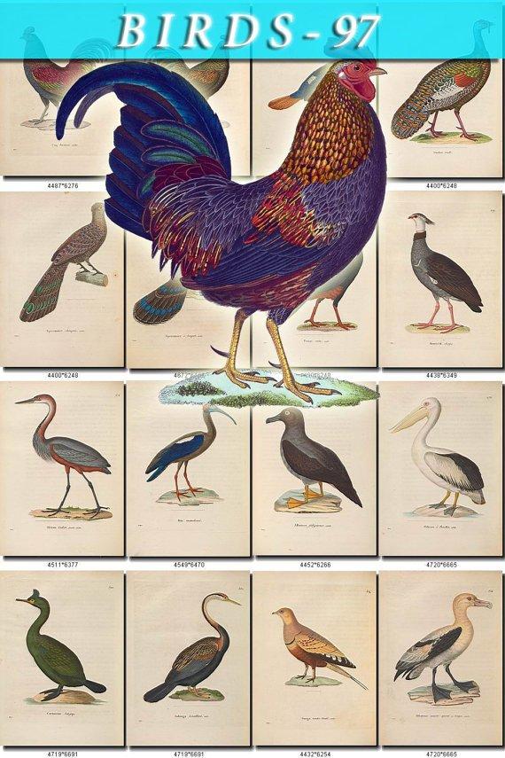 BIRDS-97 143 vintage print