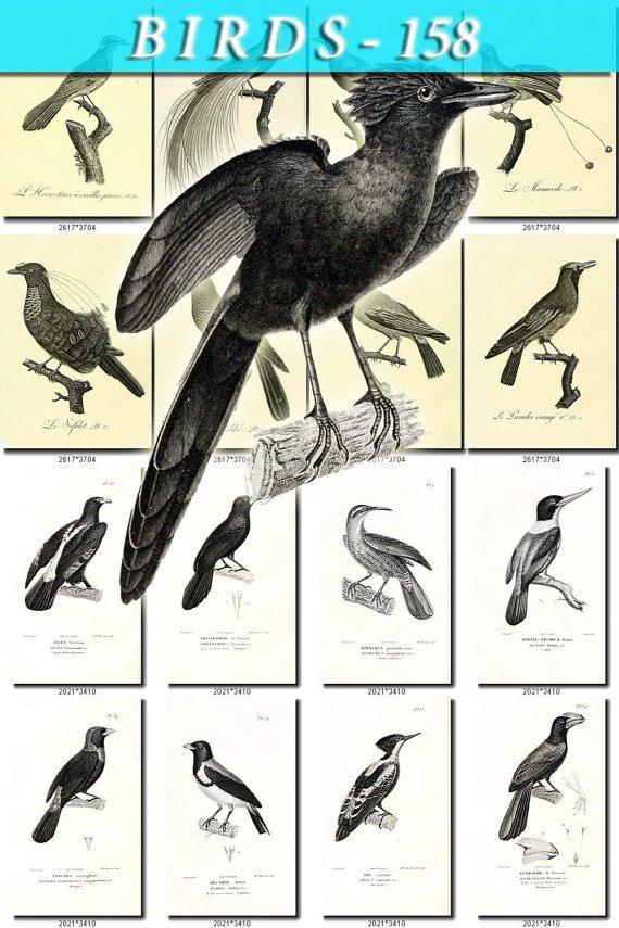 BIRDS-158-bw 225 black-, -white vintage print