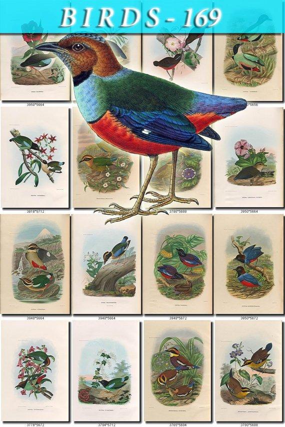 BIRDS-169 103 vintage print