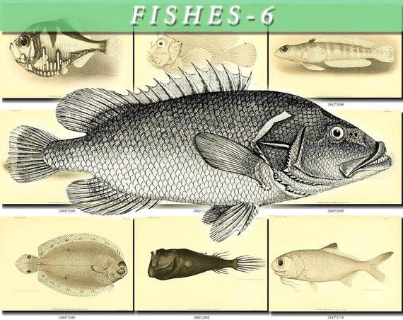FISHES-6-bw 269 black-, -white vintage print