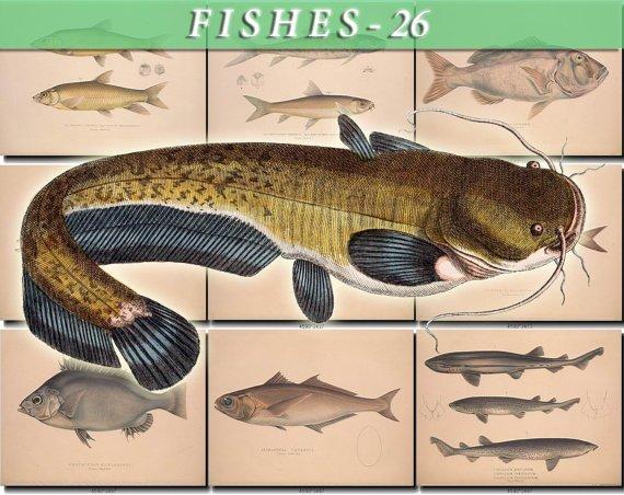 FISHES-26 73 vintage print