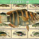 FISHES-46 74 vintage print