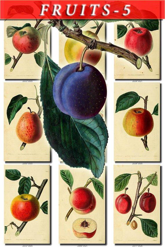 FRUITS VEGETABLES-5 160 vintage print