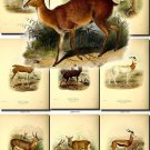 HOOFED UNGULATES-10 51 vintage print