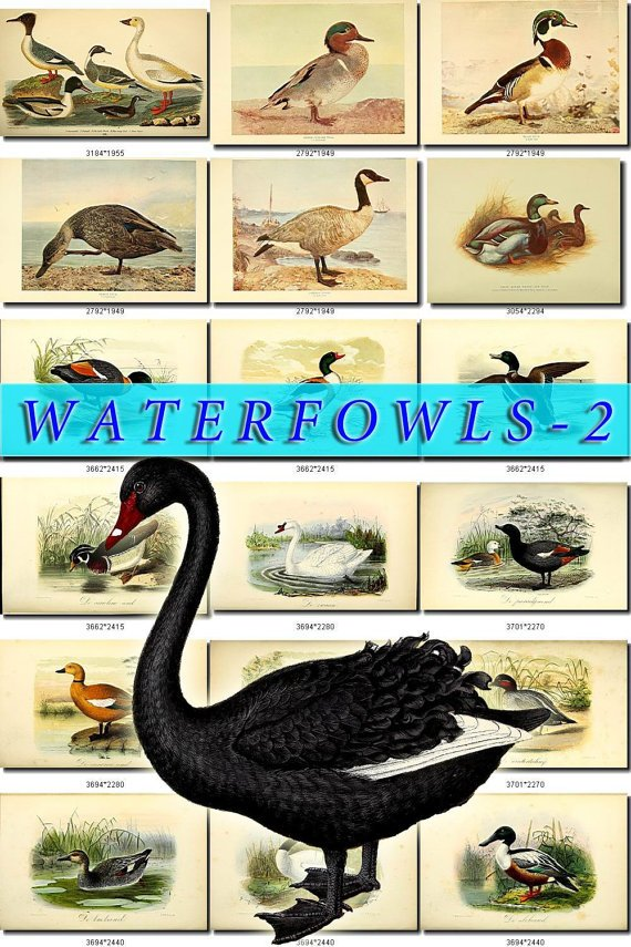 WATERFOWLS-2 Birds 52 vintage print