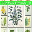 LEAVES GRASS-31 230 vintage print