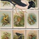 BIRDS-68 54 vintage print