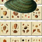 SHELLS-27 170 vintage print