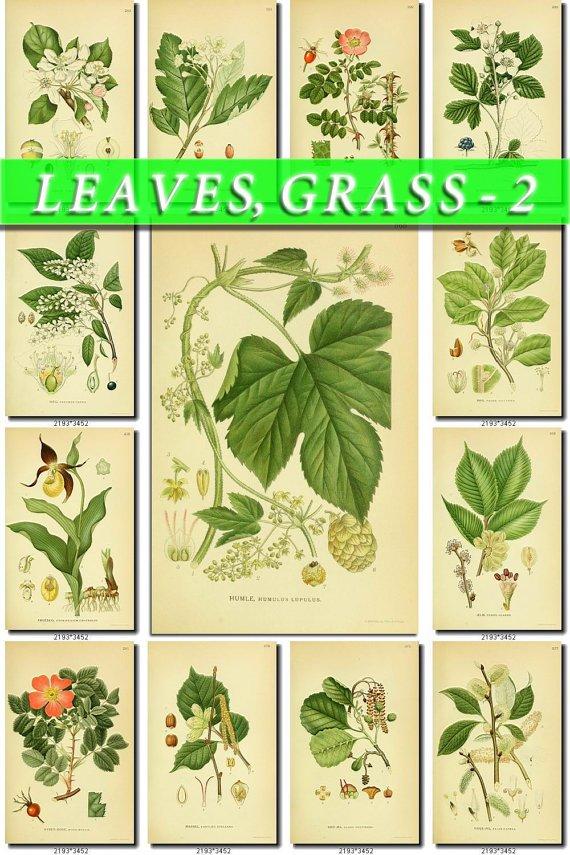LEAVES GRASS-2 250 vintage print