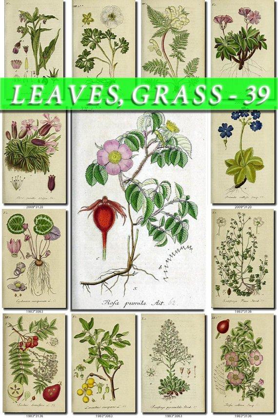 LEAVES GRASS-39 192 vintage print
