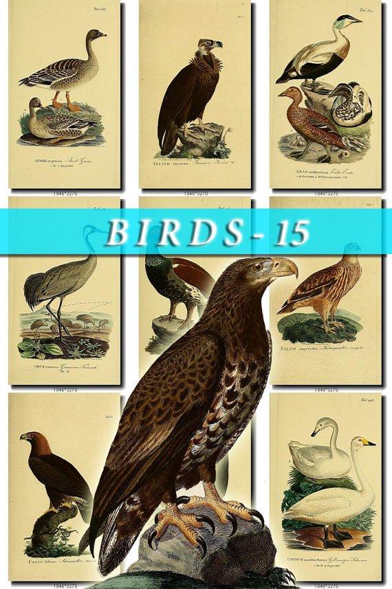 BIRDS-15 337 vintage print