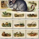 RODENTS-3 54 vintage print