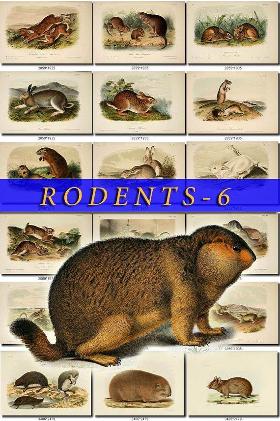 RODENTS-6 61 vintage print